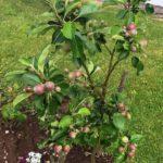 w.Wilton Apple Treet