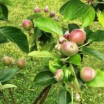 w.Wilton Apples