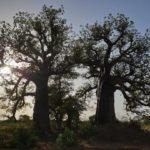 Baobab 1a