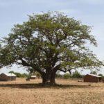 Baobab 5a