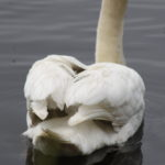 Swan Lake 1c