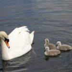 Swan Lake 1e