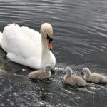 Swan Lake 5